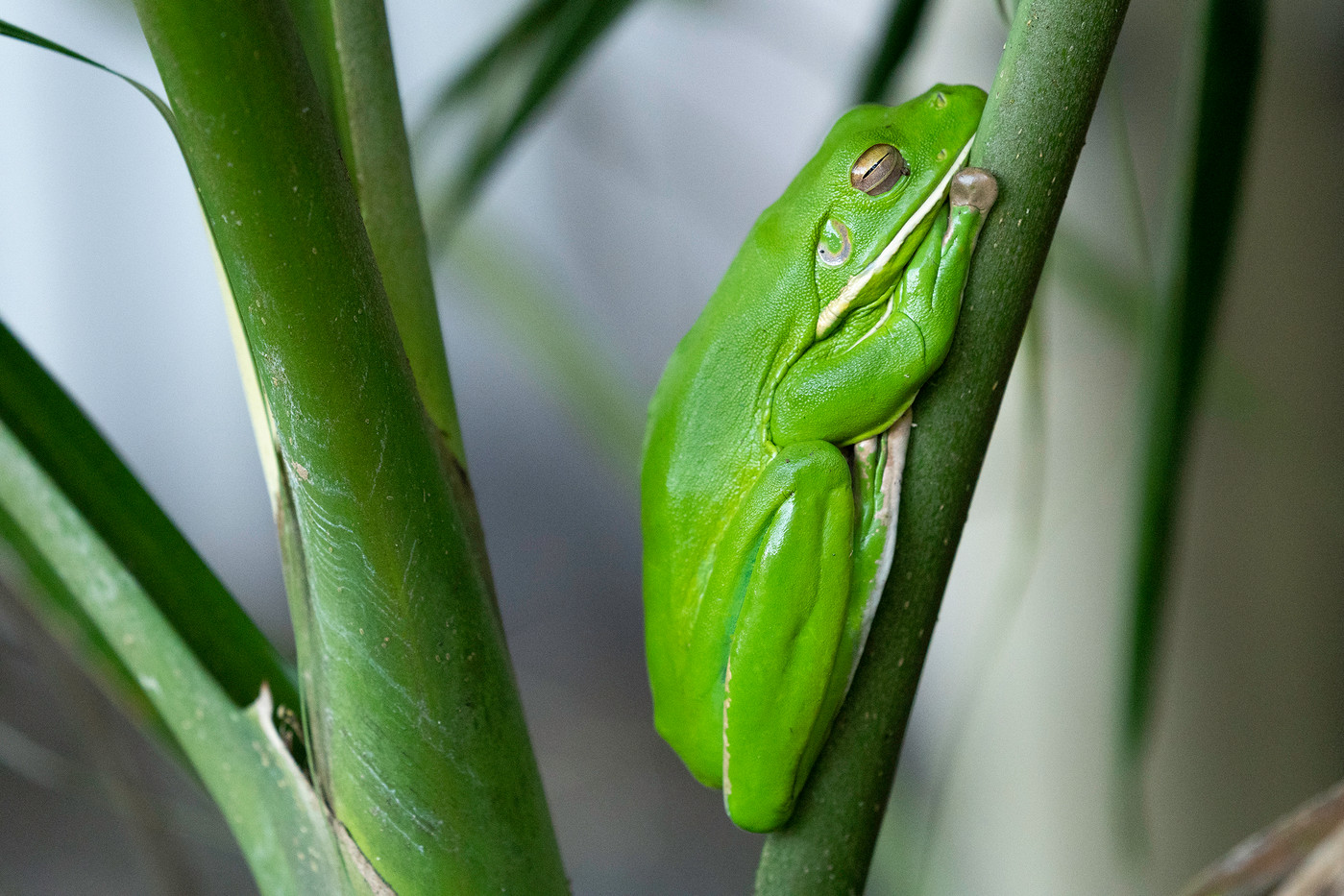 White-lipped Tree Frog in Innisfail, Australia