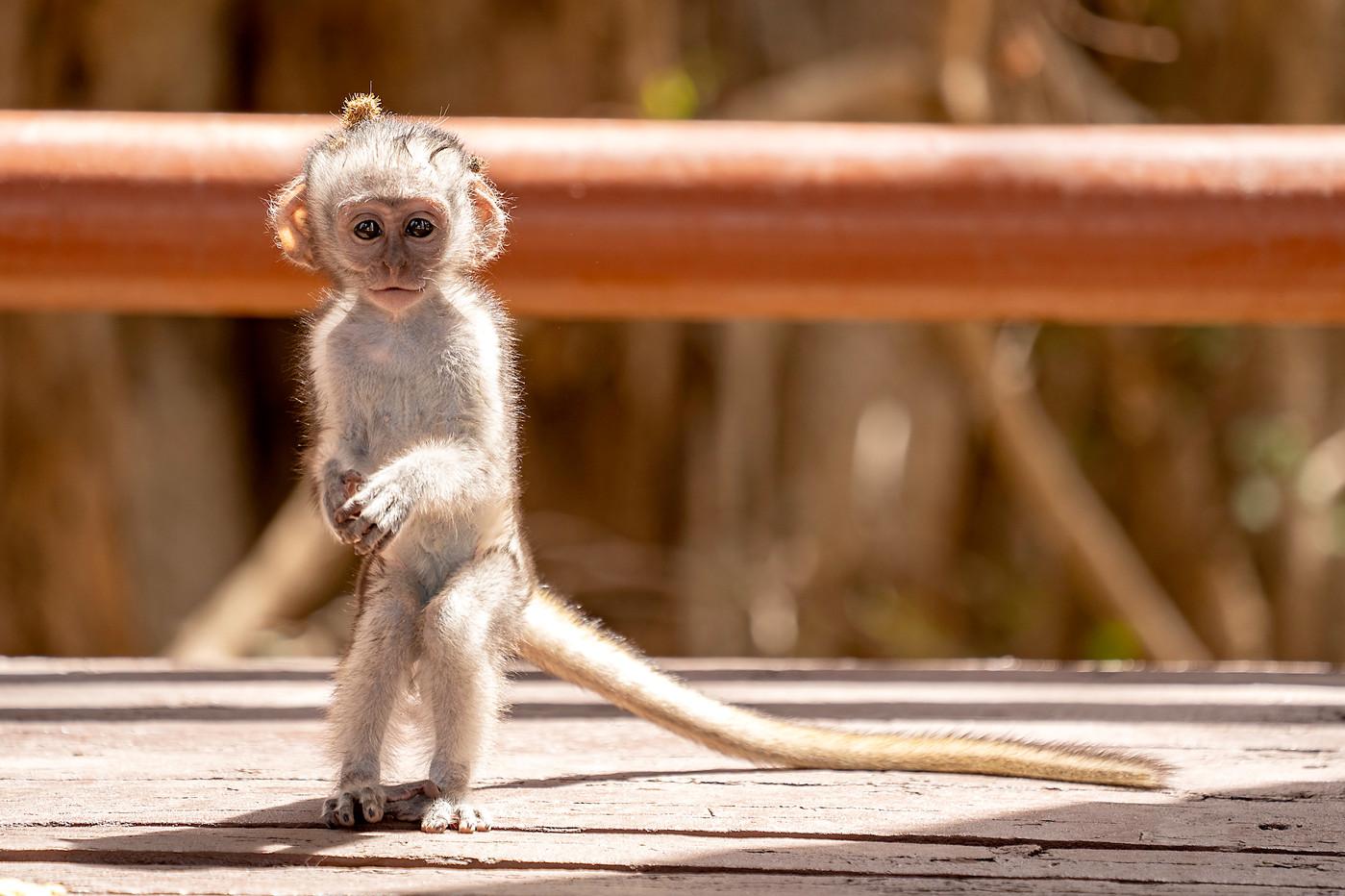 Baby Vervet Monkey in Tarangire NP, Tanzania