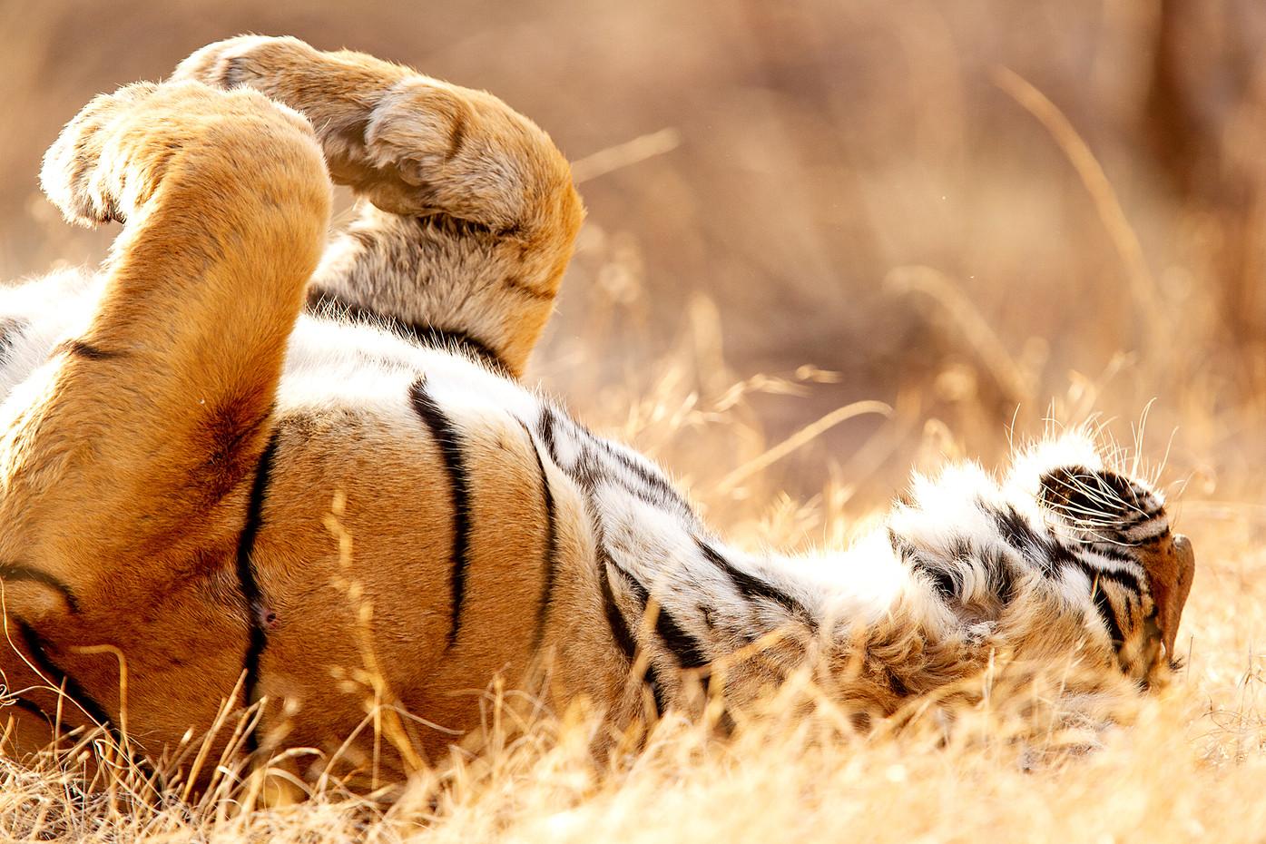 Bengal Tiger in Ranthambore NP, India3.j