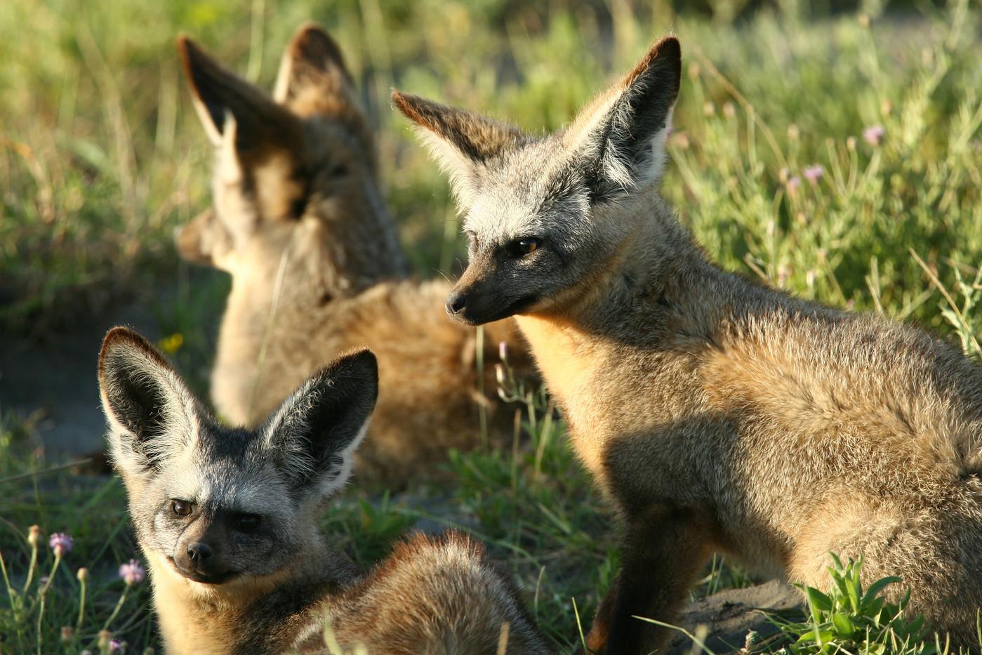 Bat-eared Foxes in the Serengeti NP, Tanzania