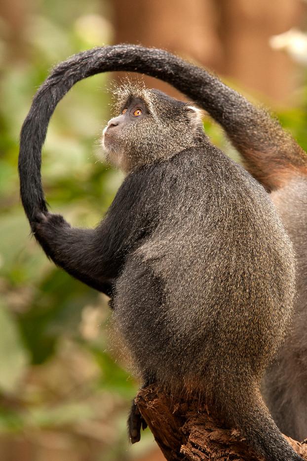 Sykes Monkey in Manyara NP, Tanzania