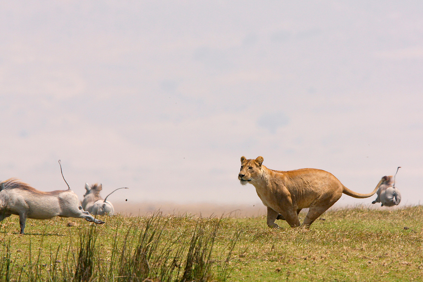 Lioness hunting warthogs in the Ngorongoro Crater, Tanzania