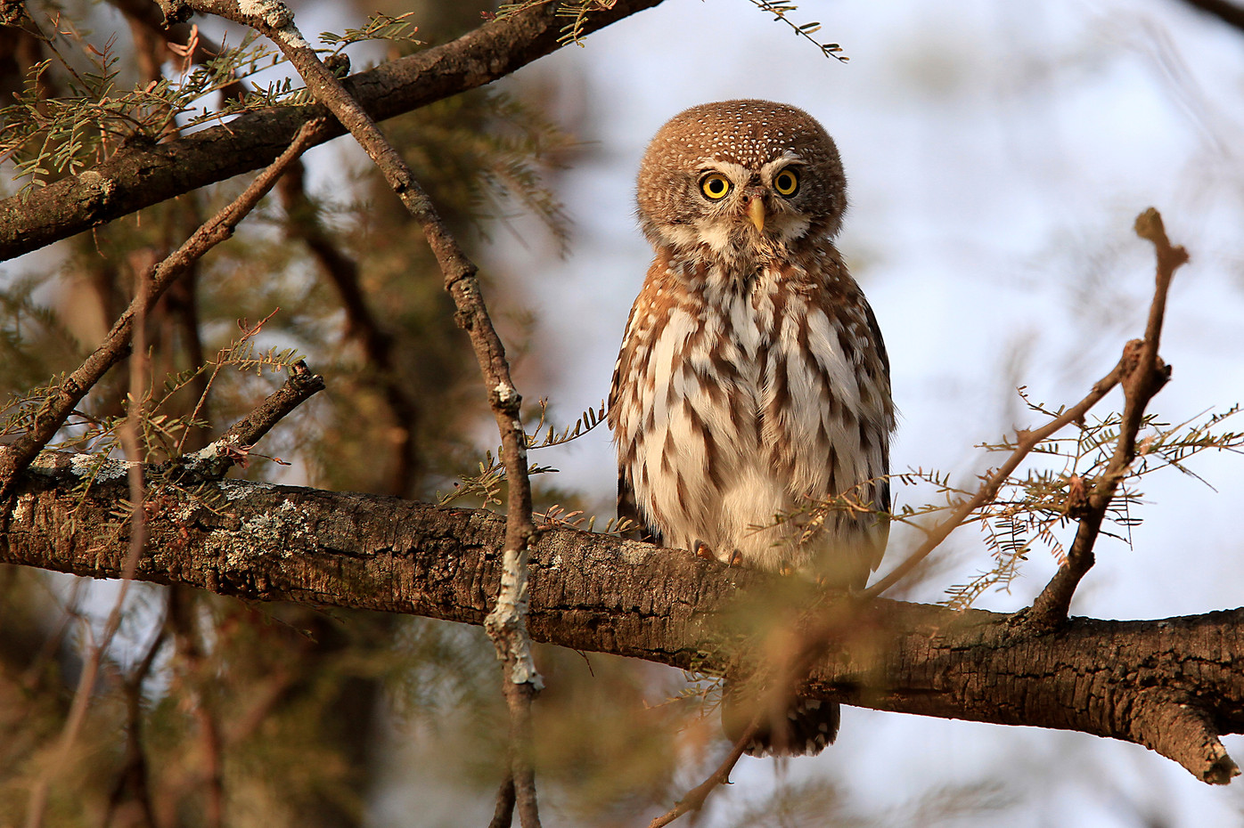 Pearl-spotted Owl in the Serengeti NP, Tanzania