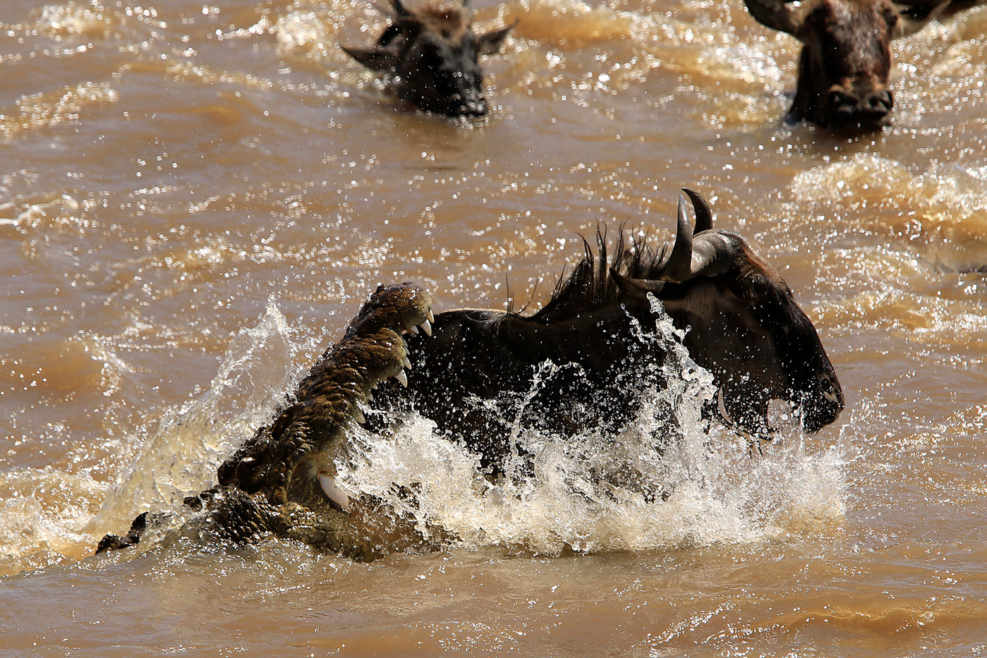 Nile Crocodile attacking a wildebeest in the Mara River, Tanzania