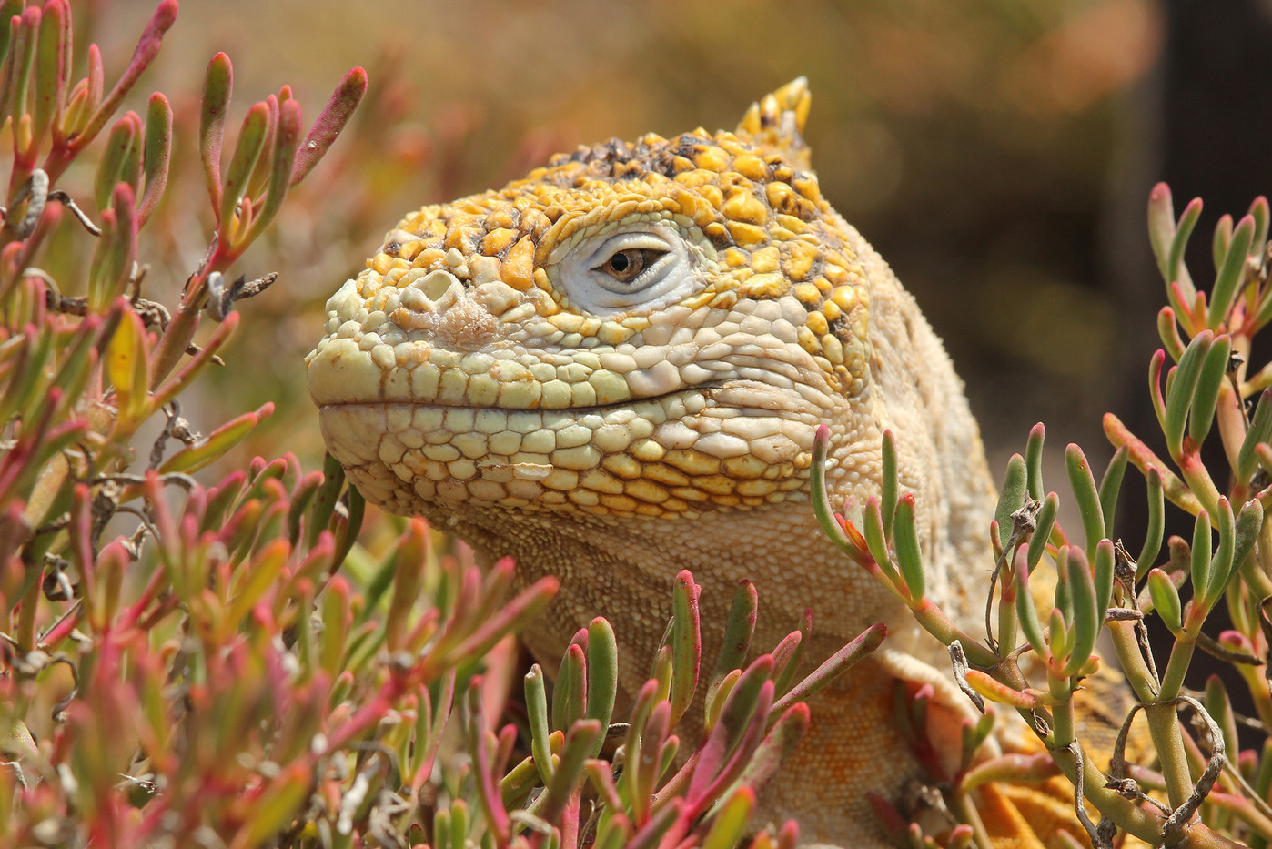 Land Iguana in the Galapagos Islands, Equador