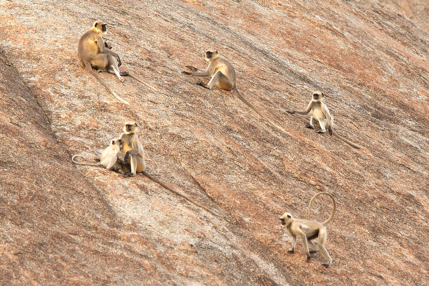 Langur Monkeys in Pali, India