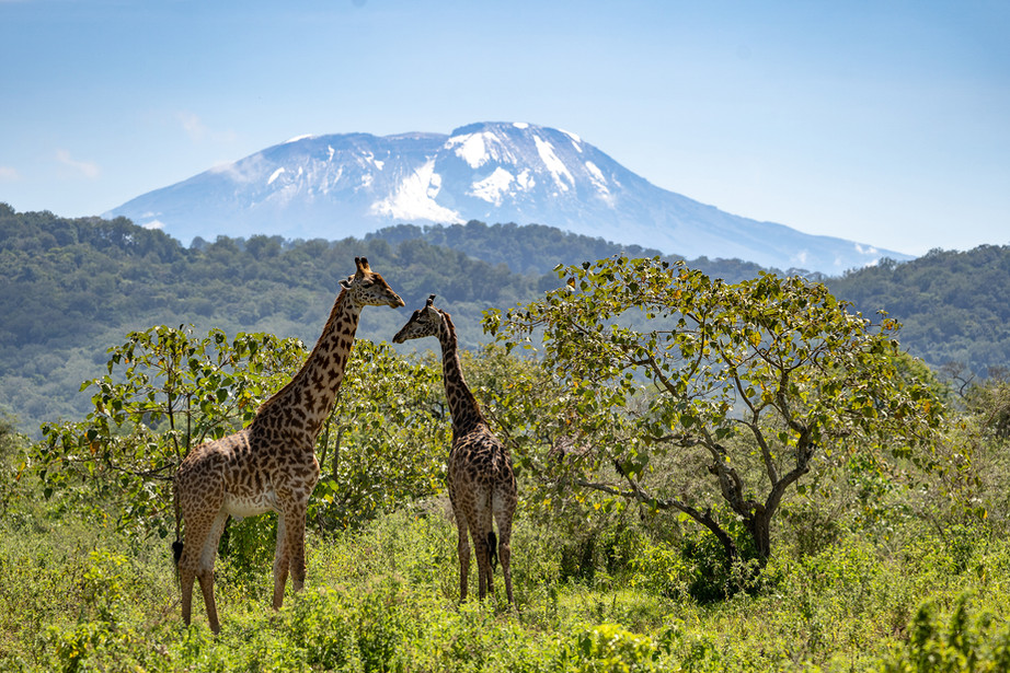 Mount Kilimanjaro & Masai giraffe from Arusha NP, Tanzania