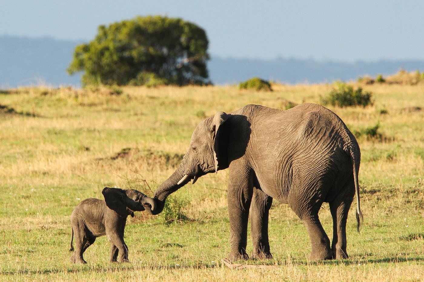 Elephant calf & sibling in the Serengeti NP, Tanzania