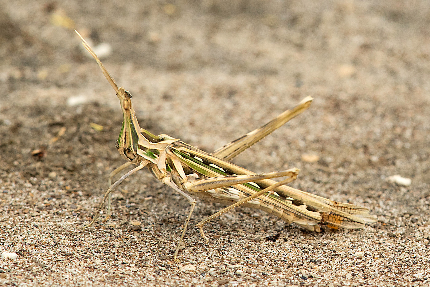 Common Stick Grasshopper on the shores of Lake Manyara, Tanzania
