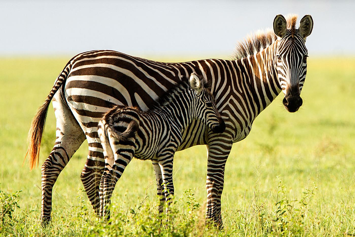 Burchell's Burchell's Zebra &  newborn foal in Lake Manyara NP, Tanzania