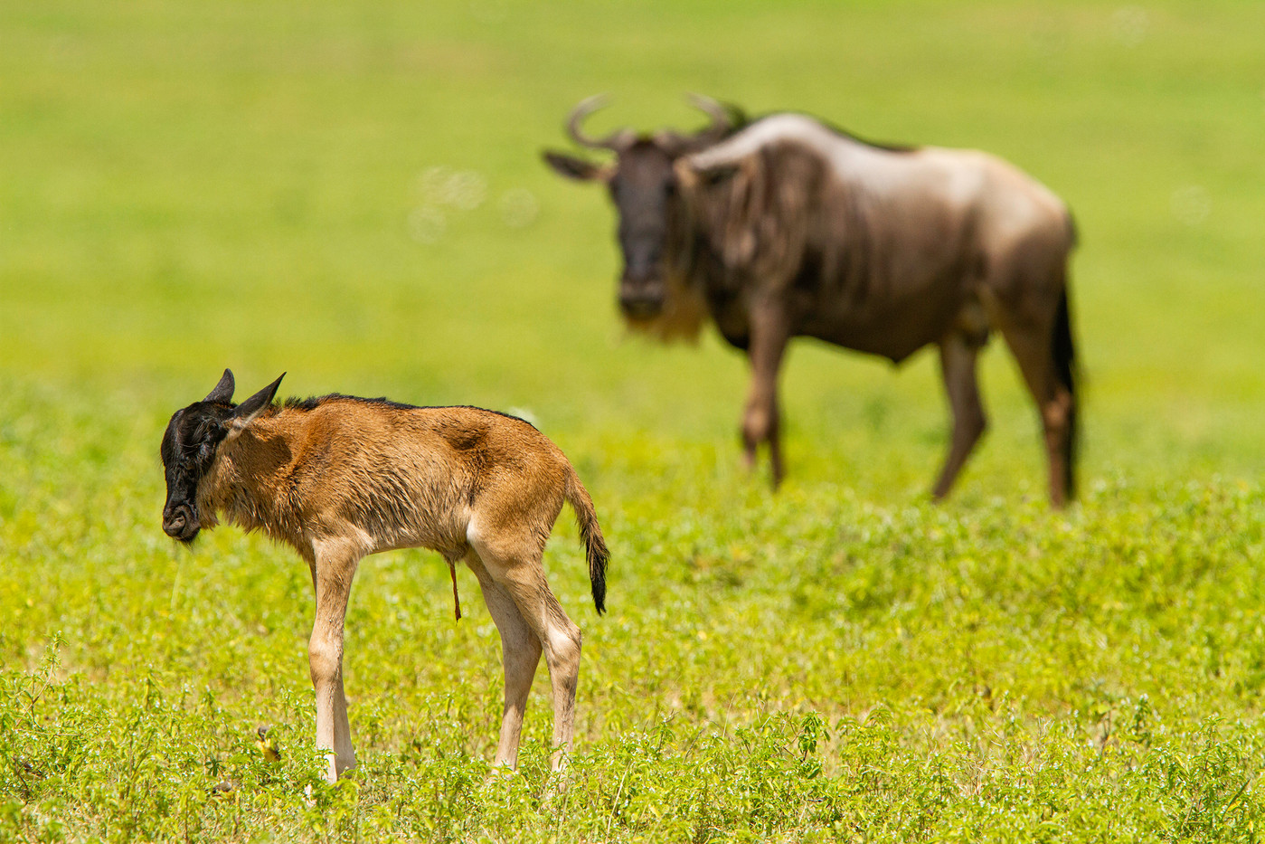 Wildebeest foal in the Ngorongoro Crater, Tanzania