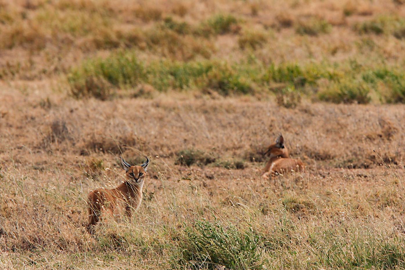 Caracals in the Serengeti NP, Tanzania