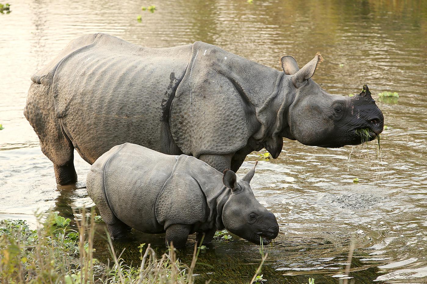 Indian One-horned Rhino & calf in Chitwan NP, Nepal