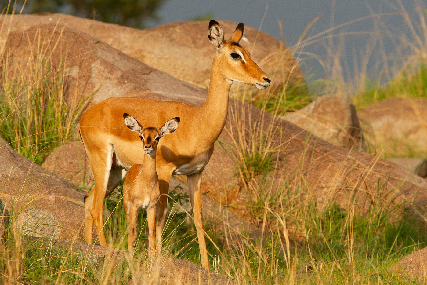 Impala & calf in the Serengeti NP, Tanzania