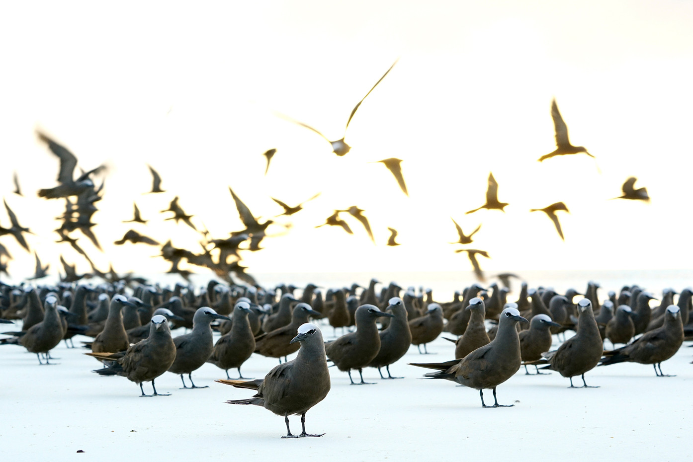 Brown Noddy's on Mnemba Island, Tanzania
