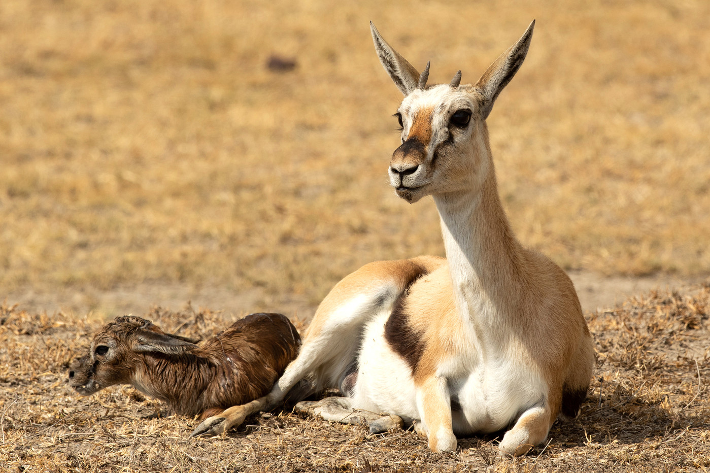 Thomson's Gazelle & newborn in the Ngorongoro Crater, Tanzania