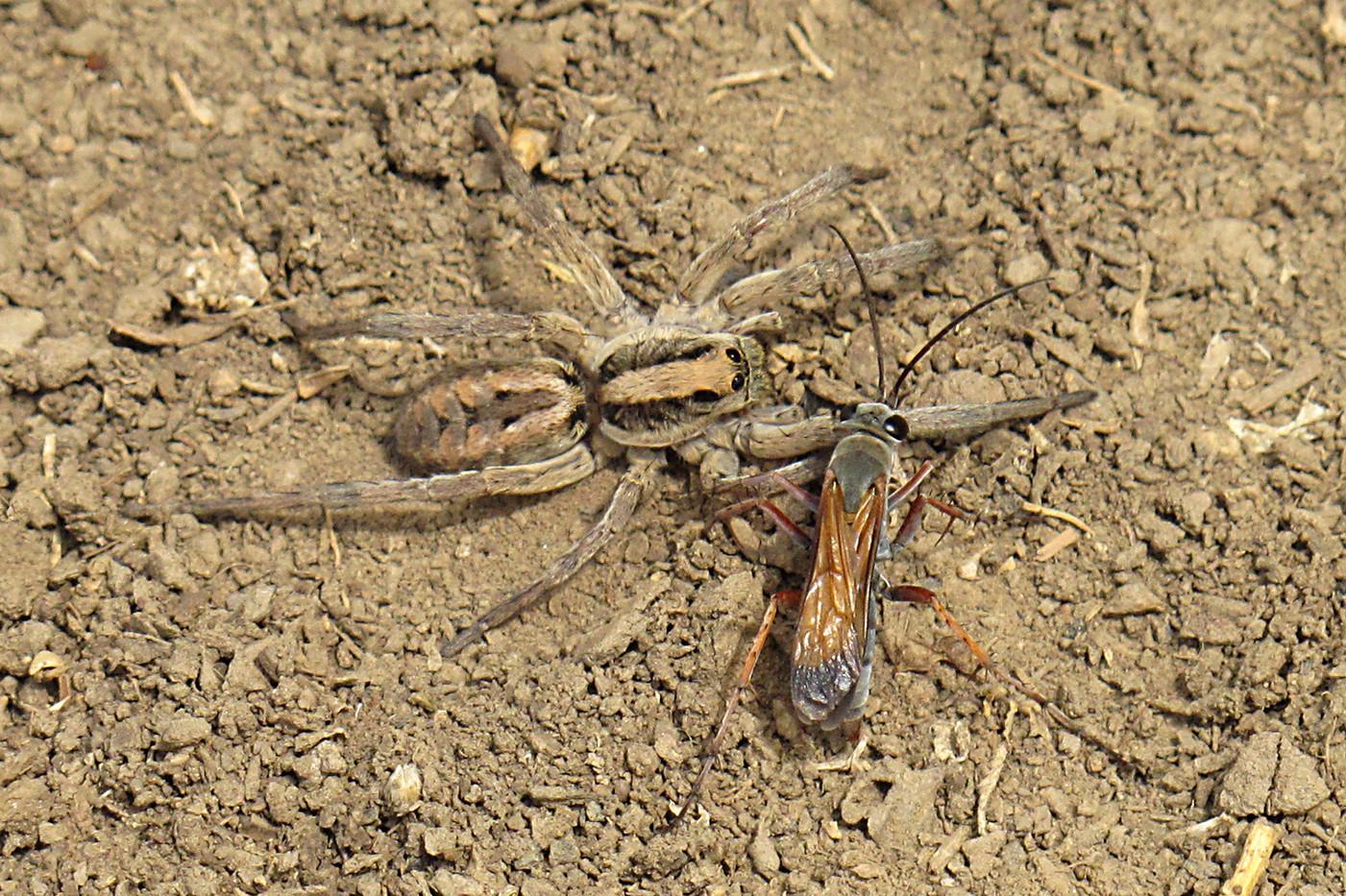 Parasitic Spider Wasp & Wolf Spider near Lake Natron, Tanzania