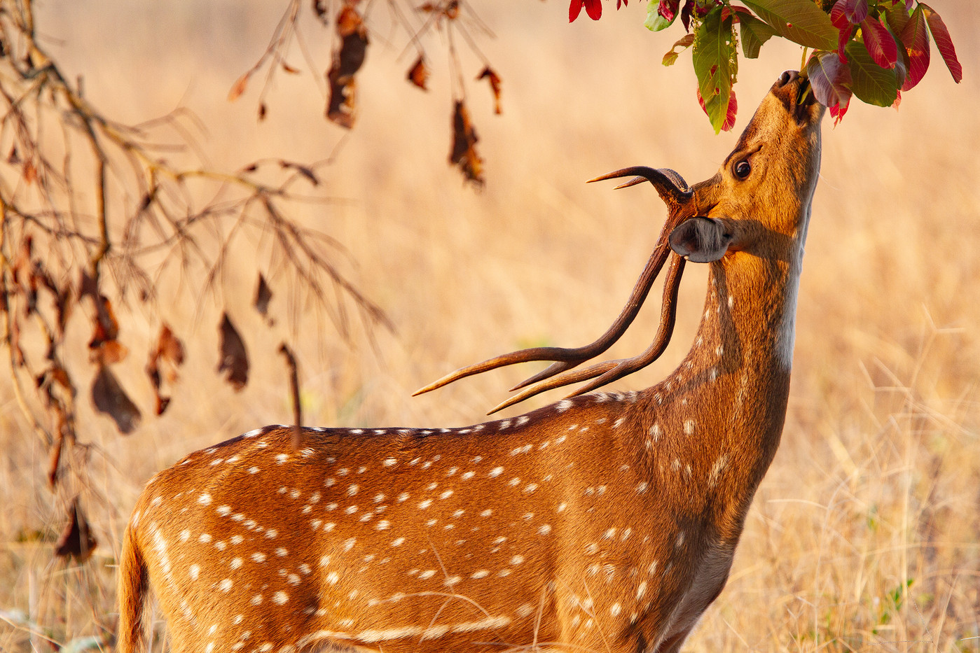 Spotted Deer in Kanha NP, India