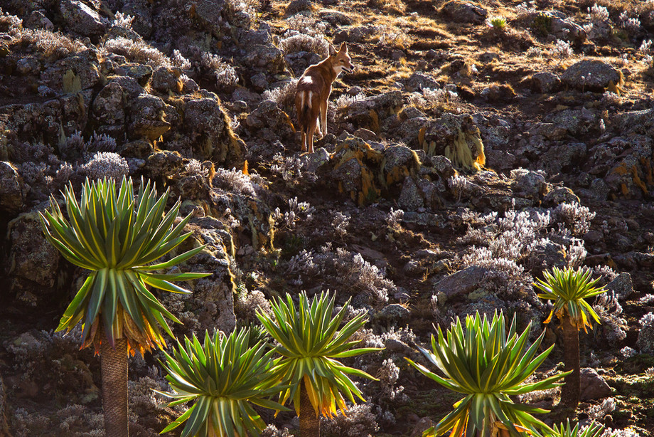 Ethiopian Ethiopian Wolf in the Bale Mountains NP, Ethiopia