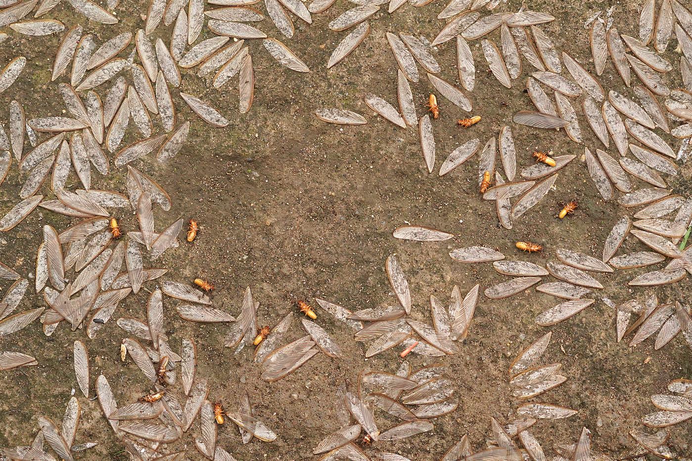 Flying termites in Arusha, Tanzania