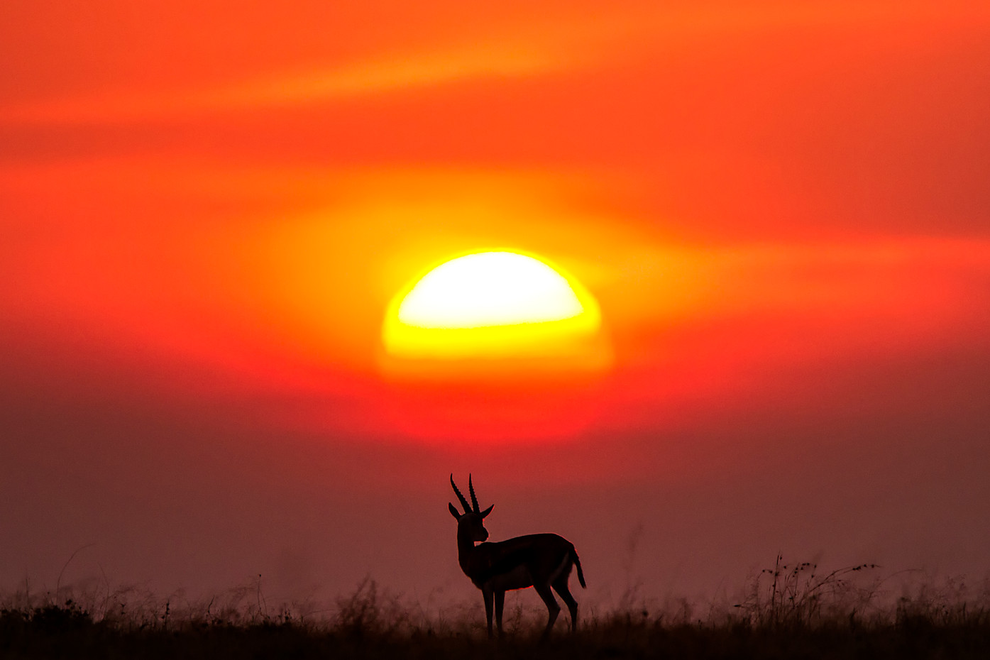 Thomson's Gazelle at sunset in the Serengeti NP, Tanzania