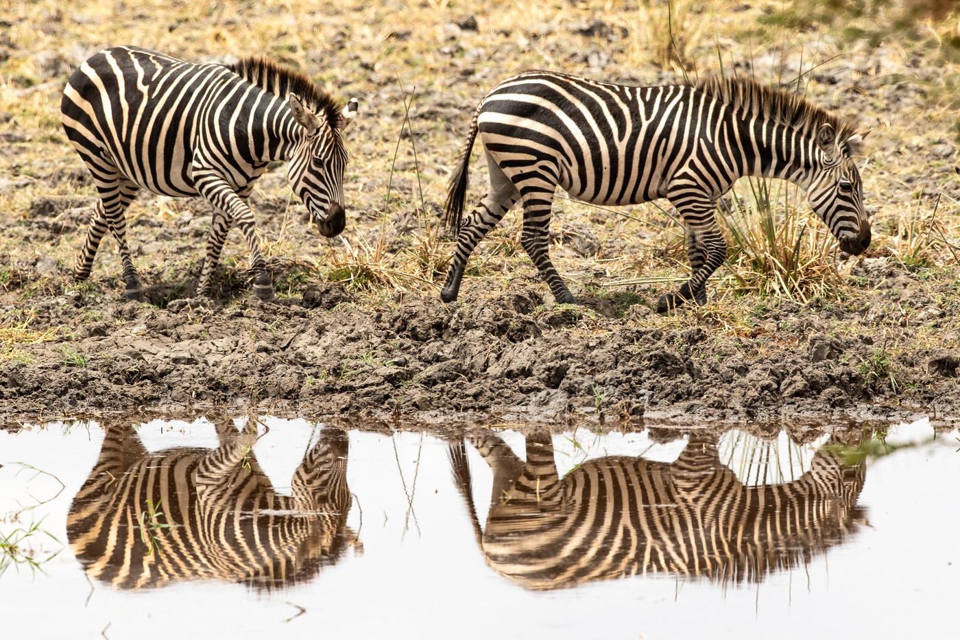 Plains Zebras in Tarangire NP, Tanzania
