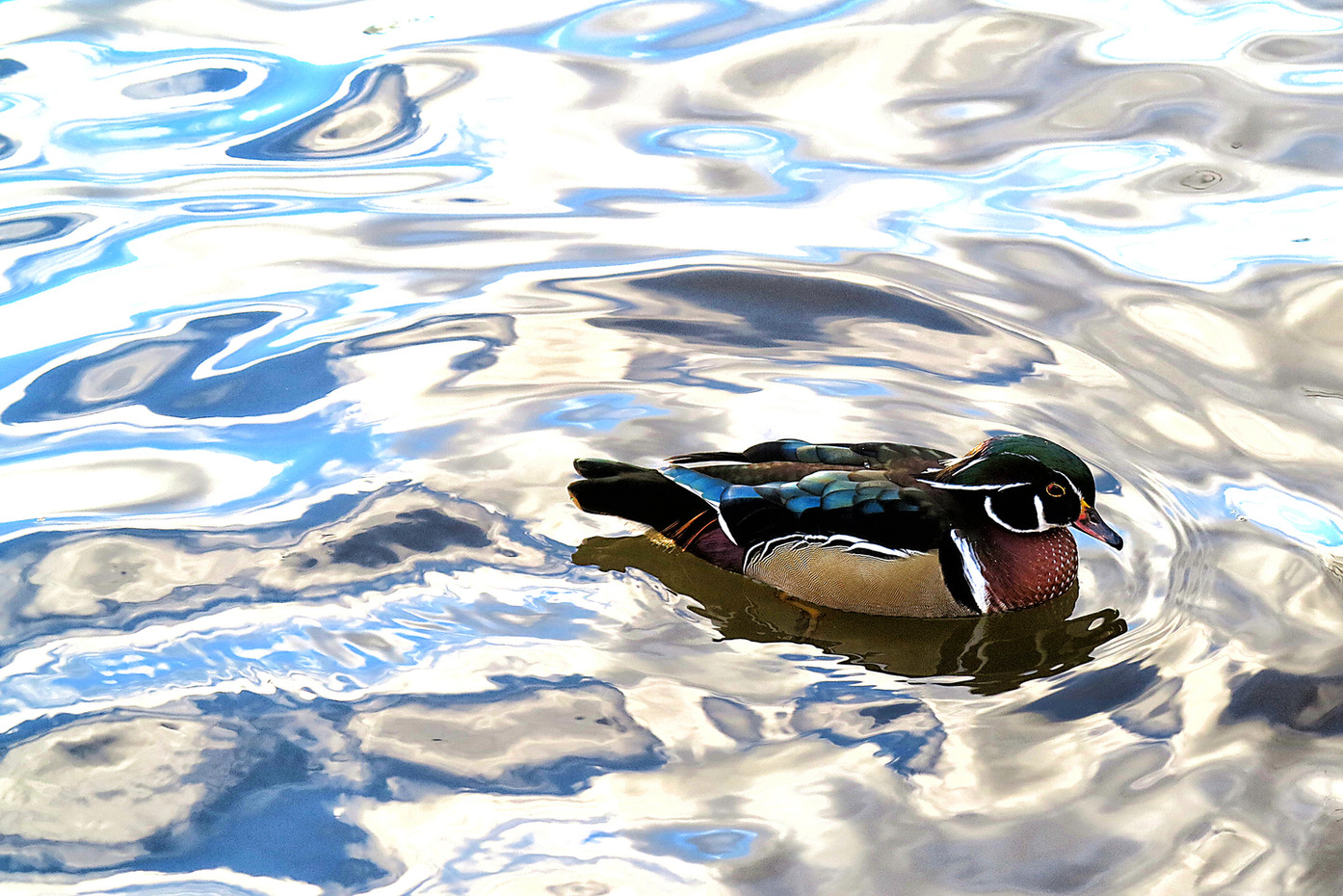 Wood Duck in Central Park NY, USA