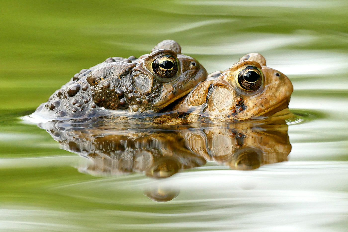 Copulating Eastern Toads in Ohio, USA
