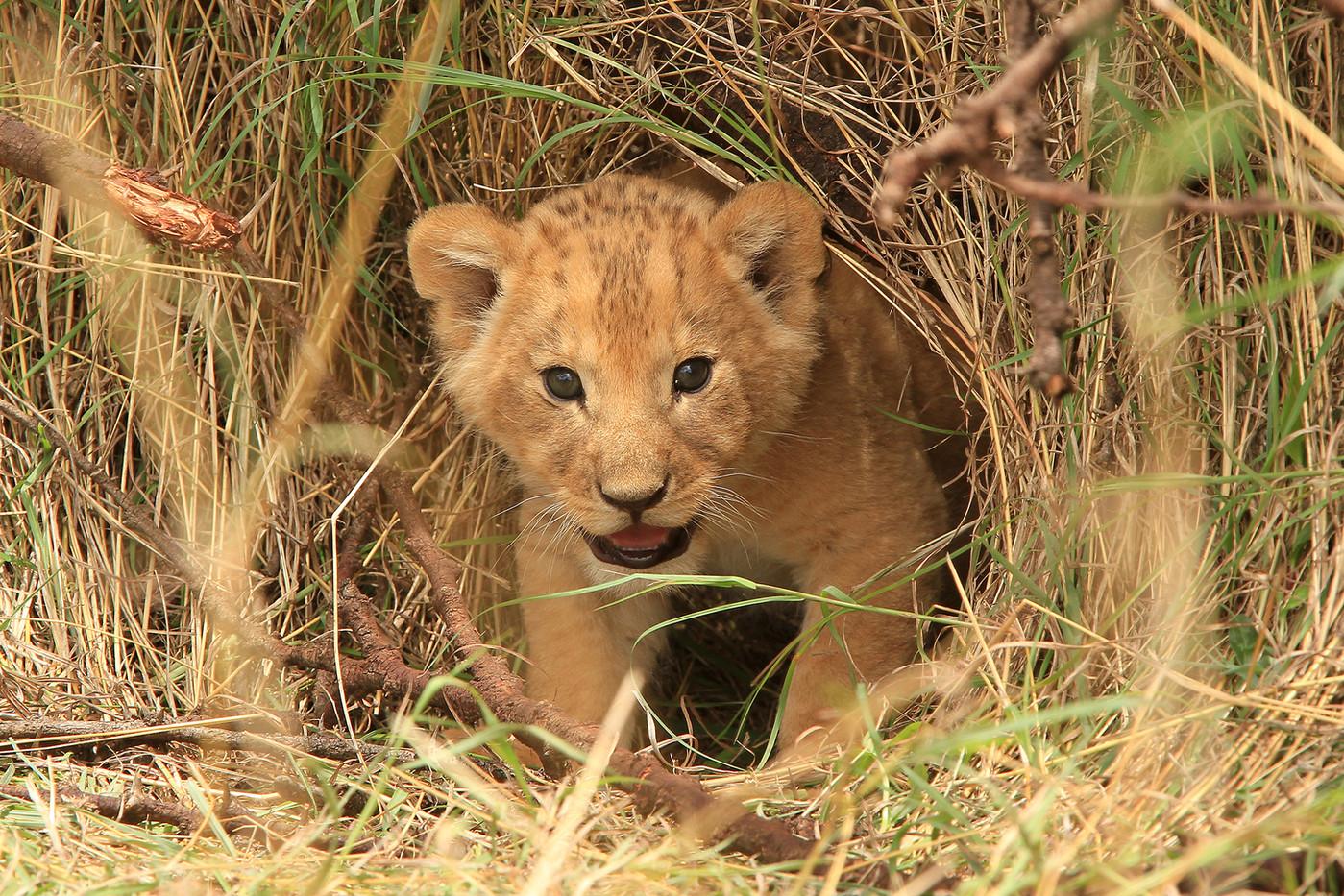 Lion cub in the Serengeti NP, Tanzania
