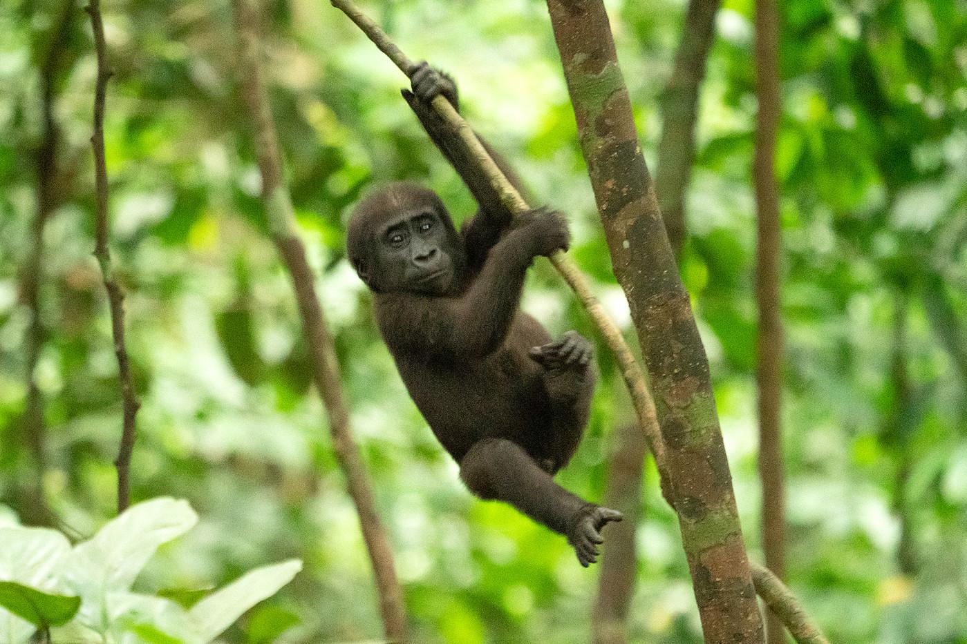 Baby western lowland gorilla in Luango NP, Gabon