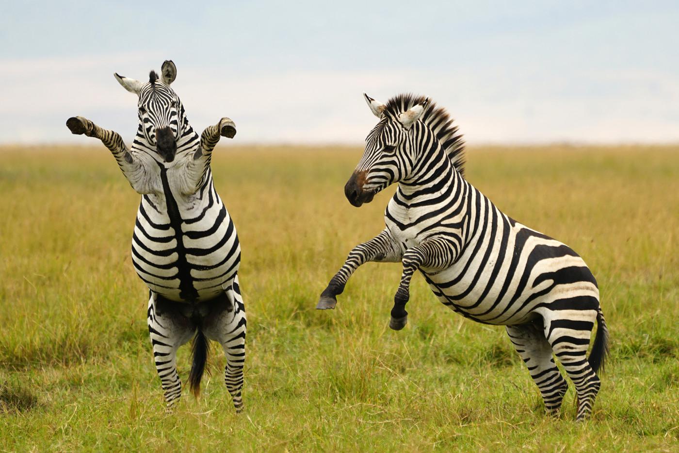 Plains Zebra stallions fighing in Ngorongoro Crater, Tanzania