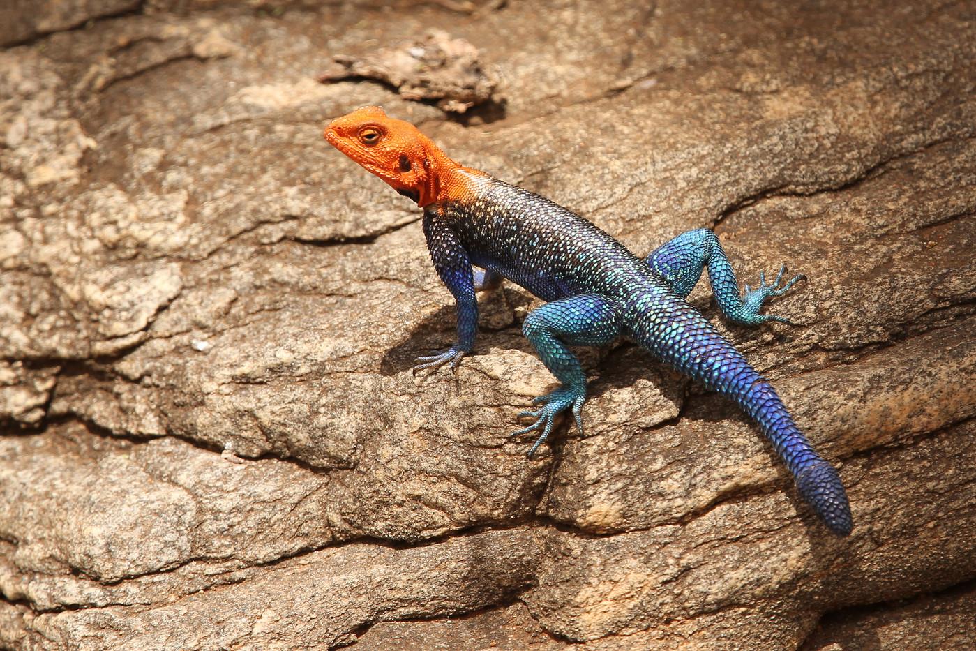 Red-headed Rock Agama in Tarangire NP, Tanzania