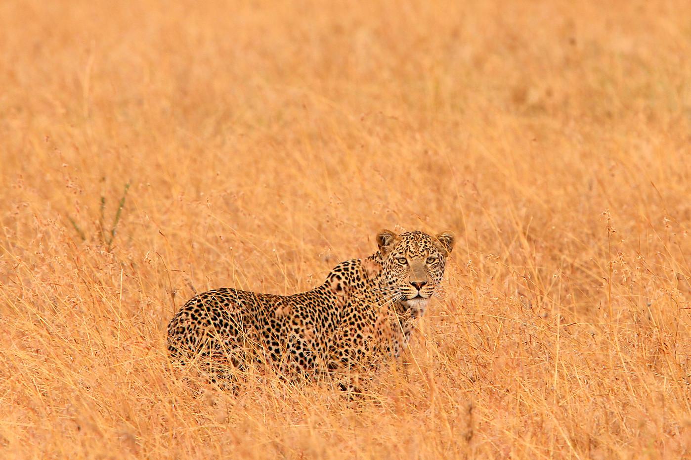 Leopard in the Serengeti NP, Tanzania