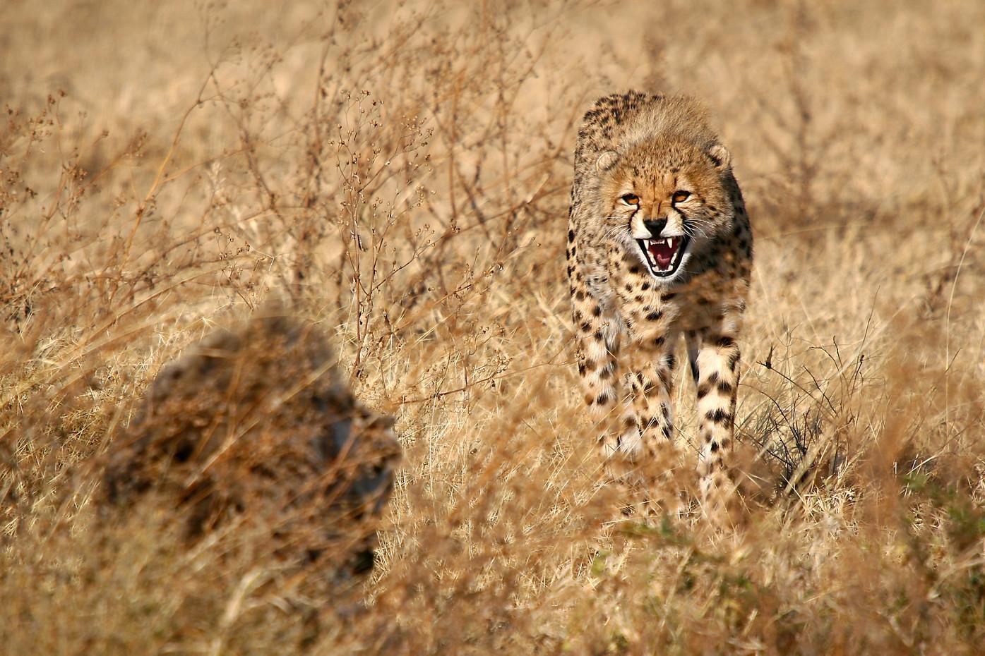 Cheetah in the Serengeti NP, Tanzania