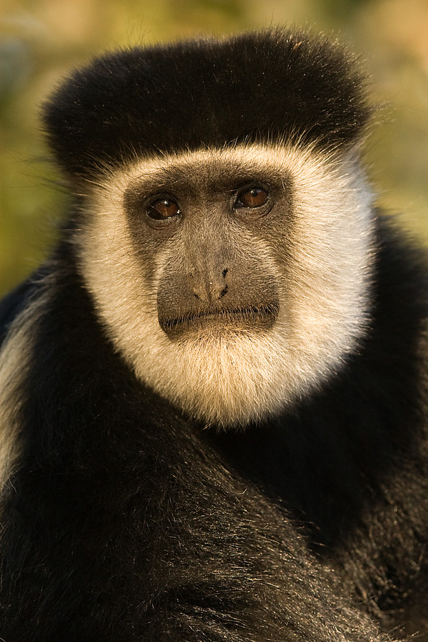 Guereza Colobus Monkey in Awassa, Ethiopia
