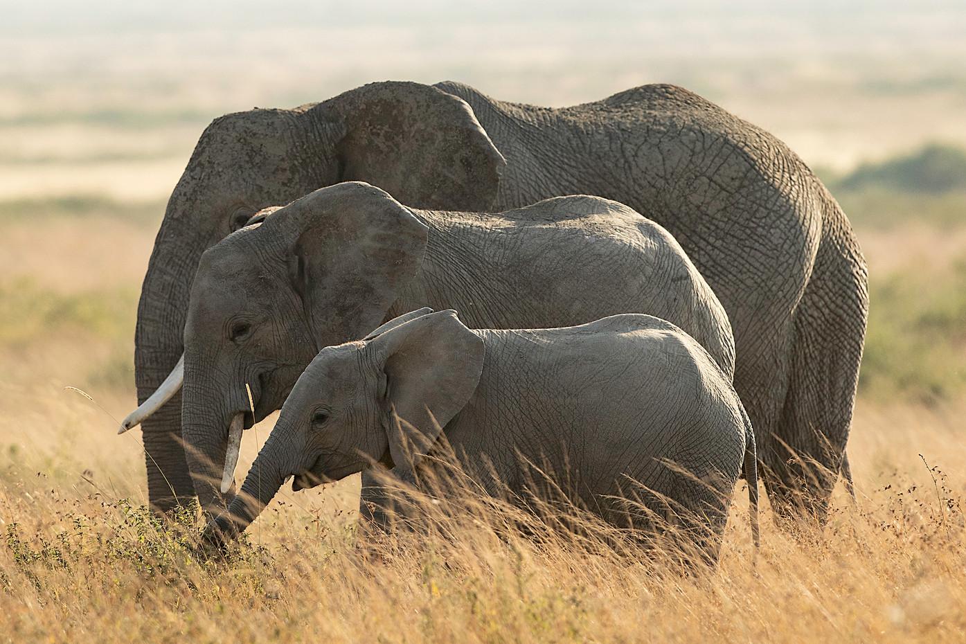 Elephants in the Serengeti NP, Tanzania