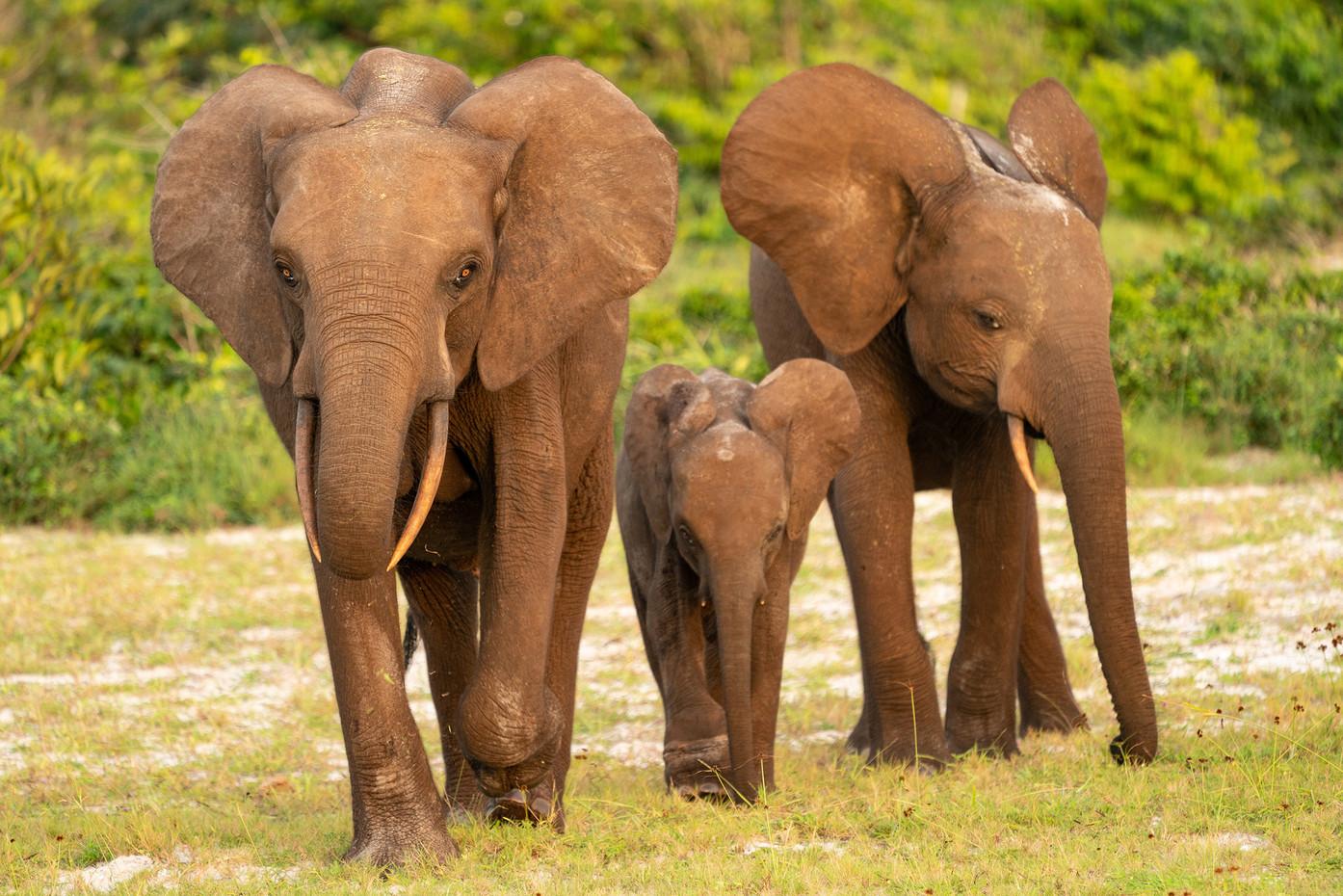 Forest Elephant & calf in Luango NP, Gabon