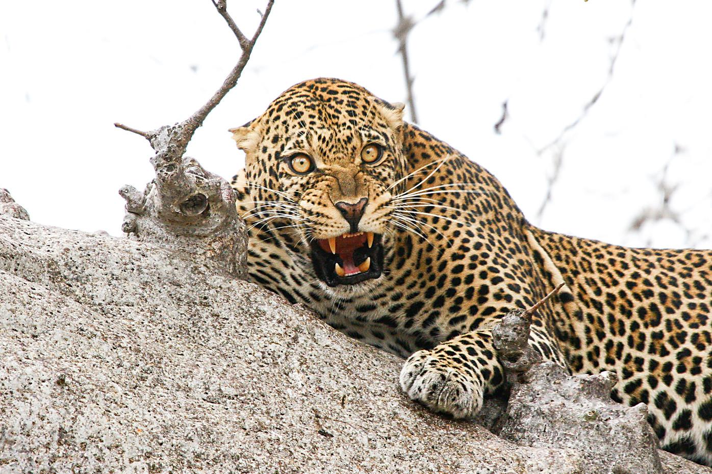 Male leopard in Tarangire NP, Tanzania