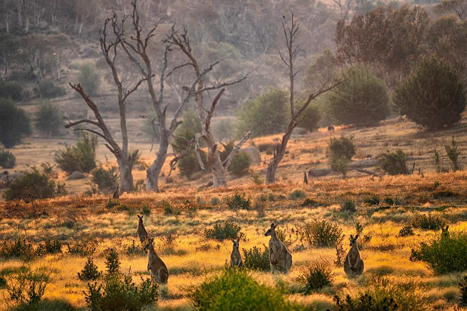 Mob of Eastern Grey Kangaroos at sunset in NSW, Australia