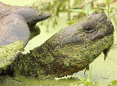 Galapagos Tortoise in the Galapagos Isla