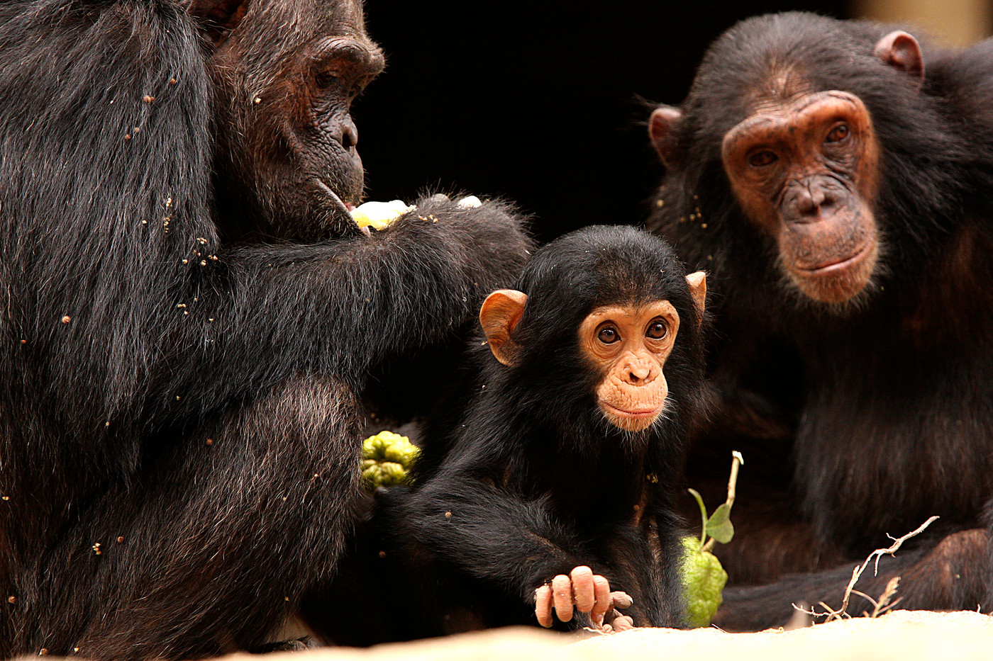 Baby chimpanzee in Mahale Mountains NP, Tanzania