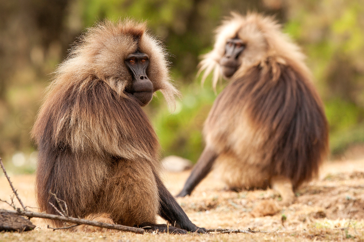 Gelada Baboons in the Simien Mountains NP, Ethiopia
