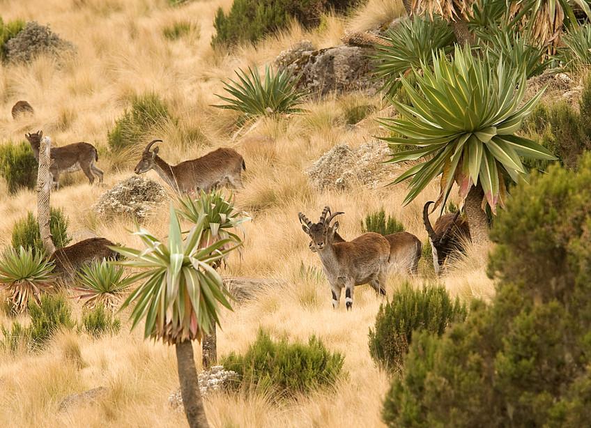 Walia Ibex in the Simien Mountains NP, Ethiopia