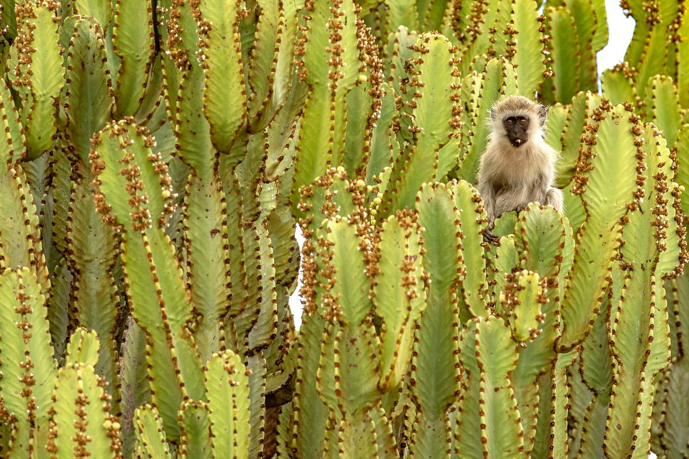 Vervet Monkey in Tarangire NP, Tanzania