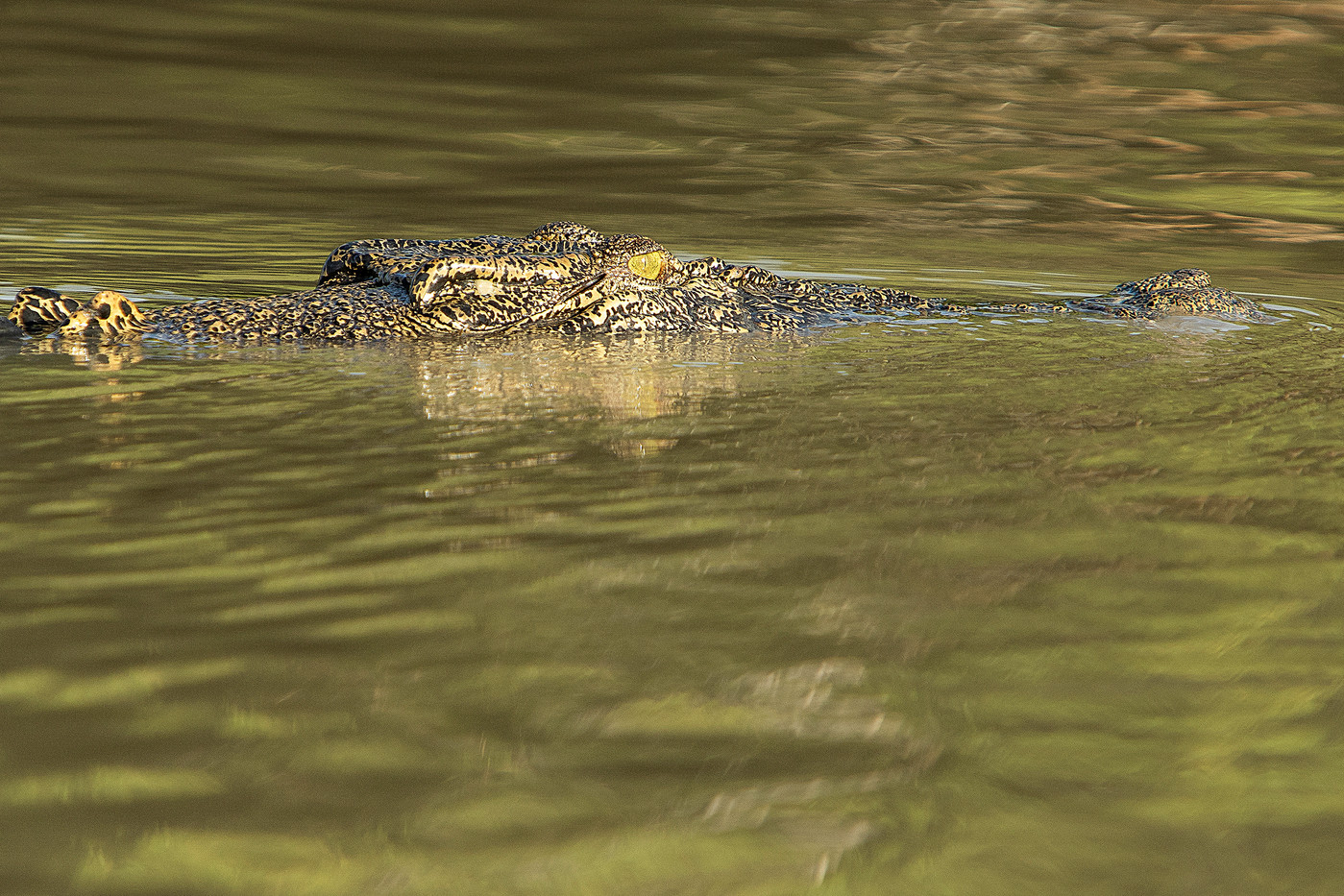 Saltwater Crocodile on the Mary River, Australia