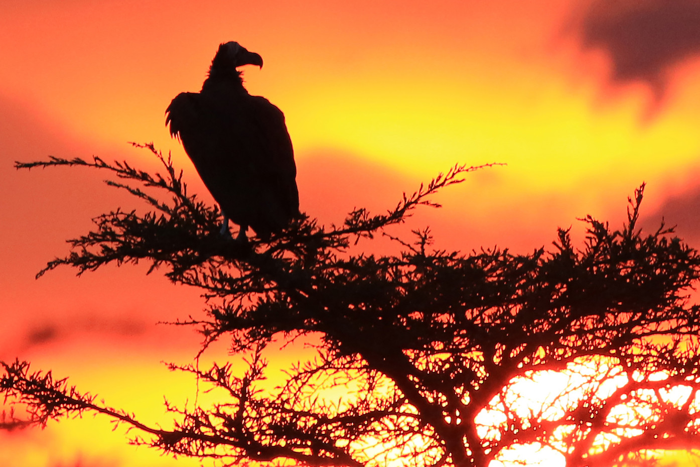 Lappet-faced Vulture at sunset in the Serengeti NP, Tanzania