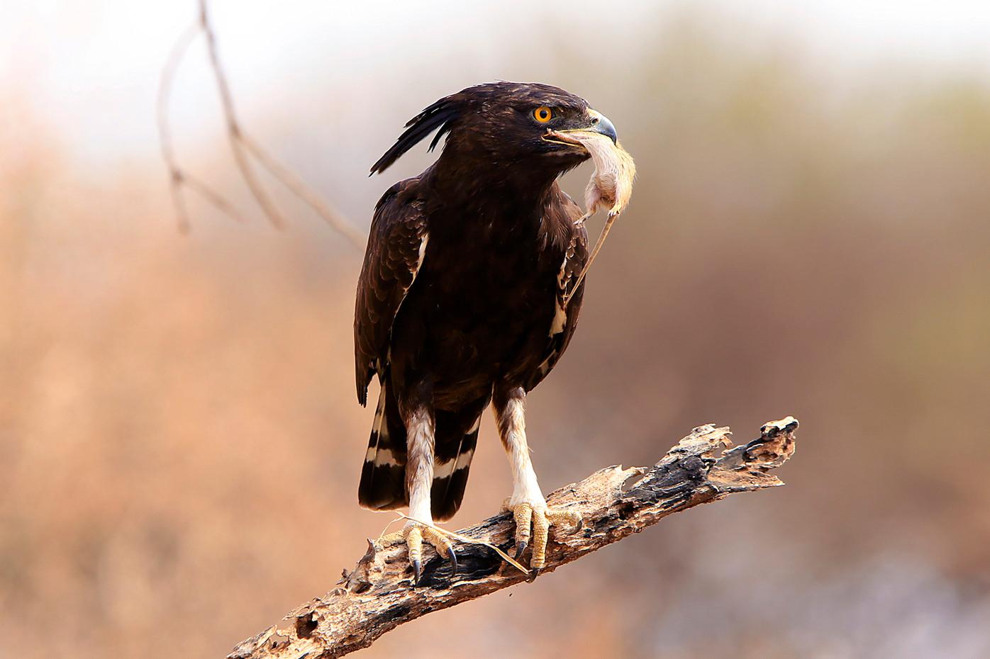Long-crested Eagle and mouse in Tarangire NP, Tanzania