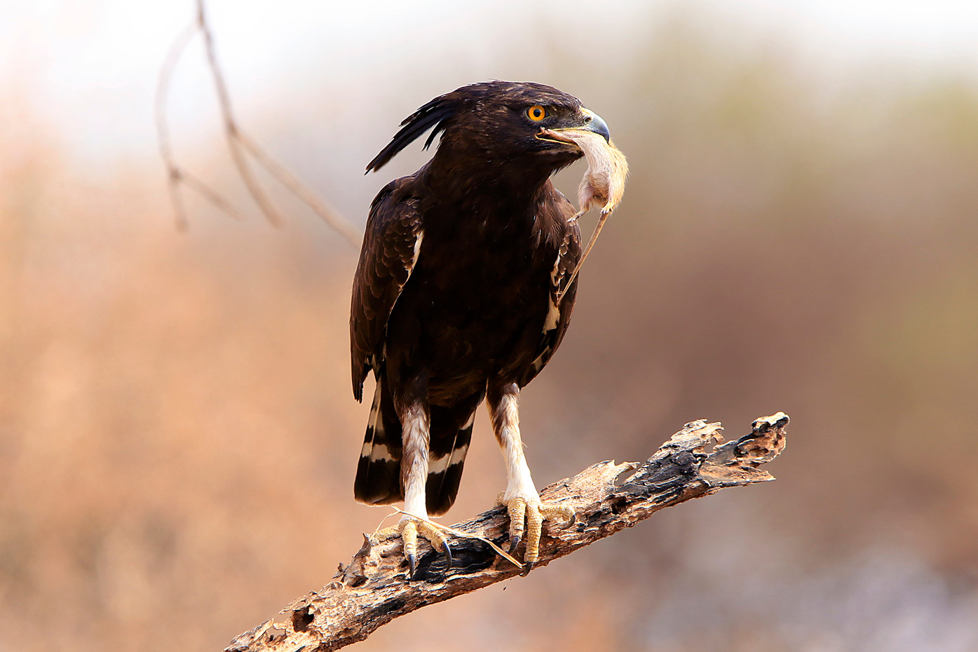 Long-crested Eagle and mouse in Tarangire NP, Tanzania