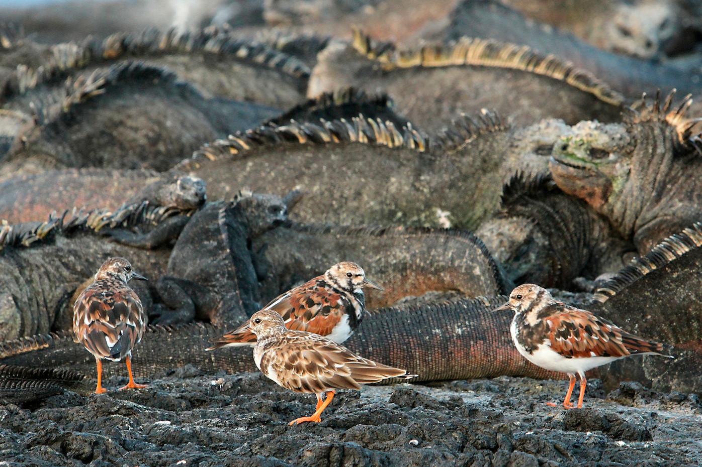 Ruddy Turnstones & Marine Iguanas in the Galapagos Islands, Equador