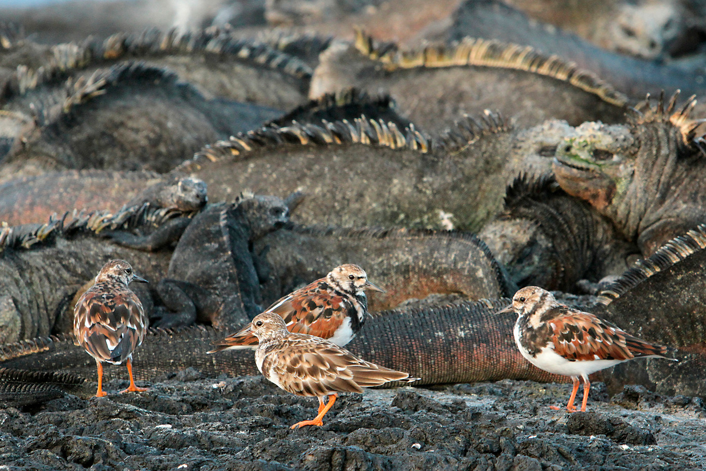 Ruddy Turnstones & Marine Iguanas in the Galapagos Islands, Equador